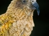 portrait-of-a-formal-kea