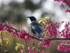 tui-in-cherry-tree1