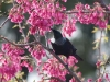 tui-in-cherry-tree3