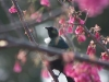 tui-in-cherry-tree6