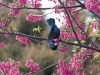 tui-in-cherry-tree7
