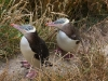 yellow-eyed-penguins3