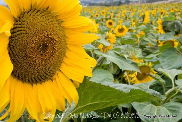 Otago Sunflower